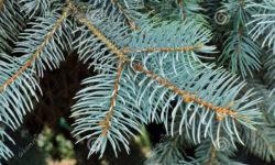 Blue spruce tree close up